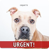 Adopt A Pet :: Coquette - Decatur, GA