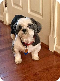 Shih Tzu Dog for adoption in Wilmington, Massachusetts - Willow: MELLOW Girl!