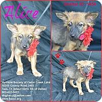 Adopt A Pet :: Alice - Plano, TX