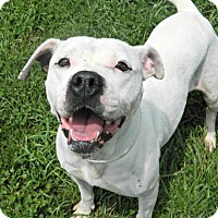 Pit Bull Terrier Mix Dog for adoption in Dayton, Ohio - Hazel