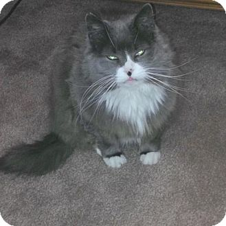 Domestic Mediumhair Cat for adoption in Parker Ford, Pennsylvania - Billie Holiday