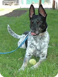 rat terrier german shepherd mix woodburn or german shepherd dog rat terrier mix meet 9759
