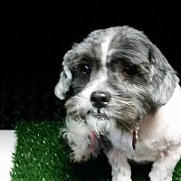 Shih Tzu/Terrier (Unknown Type, Medium) Mix Dog for adoption in Urbana, Ohio - Sparky West