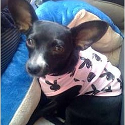 Photo 1 - Chihuahua/Terrier (Unknown Type, Small) Mix Dog for adoption in Fowler, California - Lisa