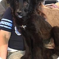 Adopt A Pet :: Amanda  meet me 4/1 - Manchester, CT