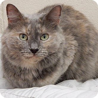 Domestic Mediumhair Cat for adoption in Long Beach, New York - Gracie