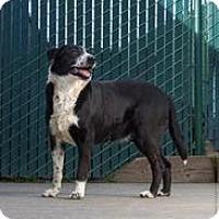 Adopt A Pet :: Gus - Petaluma, CA