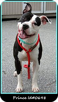 American Pit Bull Terrier Mix Dog for adoption in Kill Devil Hills, North Carolina - Gusto