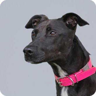 Greyhound Mix Dog for adoption in Woodinville, Washington - Maya