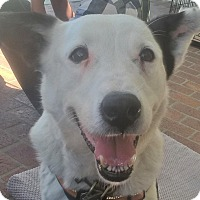 Border Collie/Shepherd (Unknown Type) Mix Dog for adoption in Los Angeles, California - DAISY