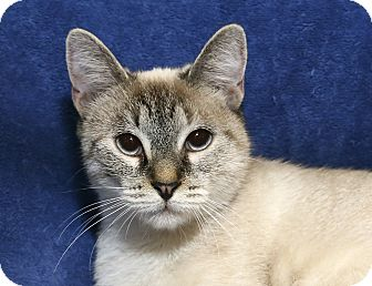 Siamese Cat for adoption in Yorba Linda, California - Snowflake