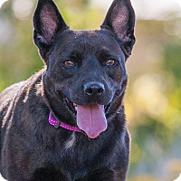 Cattle Dog/Schipperke Mix Dog for adoption in Washoe Valley, Nevada - Mishka