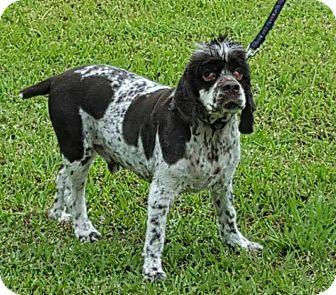 Cocker Spaniel Dog for adoption in Dickinson, Texas - Max