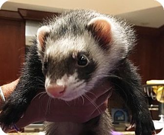 Ferret for adoption in Hartford, Connecticut - Oswald