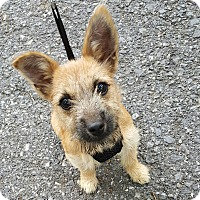 Terrier (Unknown Type, Small) Mix Puppy for adoption in Pottsville, Pennsylvania - Juno