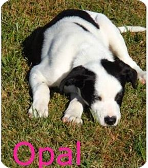 Border Collie/Hound (Unknown Type) Mix Puppy for adoption in O Fallon, Illinois - Opal
