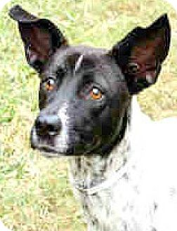 Australian Cattle Dog/Fox Terrier (Smooth) Mix Dog for adoption in Boulder, Colorado - Sammy