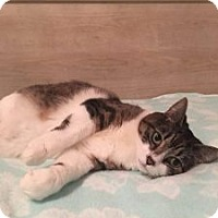 Domestic Shorthair Cat for adoption in Wasilla, Alaska - Maryelle