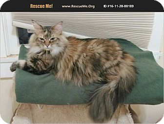 Maine Coon Cat for adoption in Madison, Tennessee - Miss Kitty