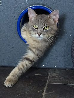 Domestic Longhair Cat for adoption in Waller, Texas - Hubble