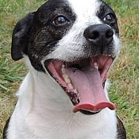 Adopt A Pet :: PATRIOT - Joplin, MO