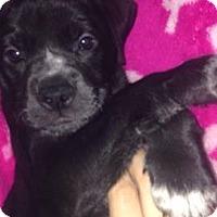 Adopt A Pet :: Samoa - North Brunswick, NJ