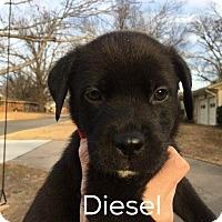 Labrador Retriever/Shepherd (Unknown Type) Mix Puppy for adoption in Claremore, Oklahoma - Diesel