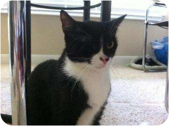 Domestic Shorthair Cat for adoption in Houston, Texas - Sprite
