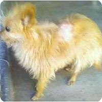 Adopt A Pet :: Nutmeg - Los Alamitos, CA