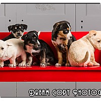 Adopt A Pet :: Lab/Bassett puppies - Owensboro, KY