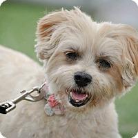 Adopt A Pet :: Brittany - Gainesville, FL