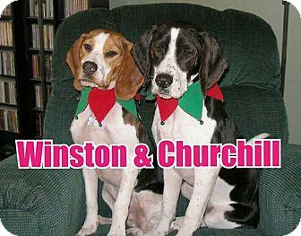 Brittany/Beagle Mix Dog for adoption in Birmingham, Michigan - WINSTON & CHURCHILL