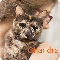 Adopt A Pet :: Chandra - Dallas, TX