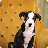 Adopt A Pet :: Gouda - Portland, OR