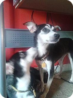 Rat Terrier Mix Dog for adoption in fayetville, North Carolina - winny