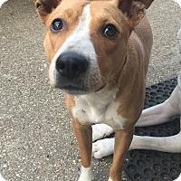 Adopt A Pet :: Bam Bam - EDEN PRAIRIE, MN