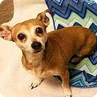 Adopt A Pet :: Prudence - Andalusia, PA