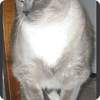 Adopt A Pet :: Sheba - Gilbert, AZ