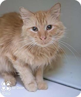 Domestic Mediumhair Cat for adoption in Merrifield, Virginia - Sir Dean