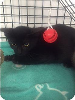 Domestic Shorthair Kitten for adoption in Forest Hills, New York - Sydney