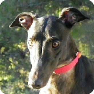 Greyhound Dog for adoption in El Cajon, California - Chantel