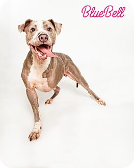 Hound (Unknown Type)/American Staffordshire Terrier Mix Dog for adoption in Portland, Oregon - BlueBell