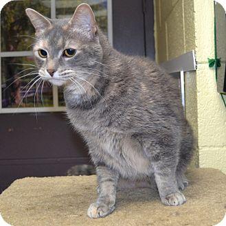 Domestic Shorthair Cat for adoption in Wheaton, Illinois - Chloe