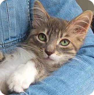 Maine Coon Kitten for adoption in Davis, California - Athena
