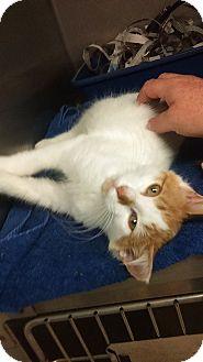 Domestic Longhair Kitten for adoption in Bayside, New York - twinkle