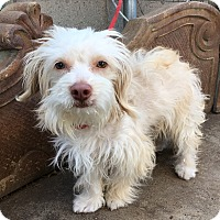 Maltese/Poodle (Miniature) Mix Dog for adoption in Santa Ana, California - Milo