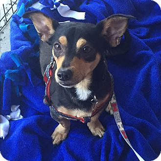Dachshund/Chihuahua Mix Dog for adoption in Brea, California - Zorro