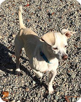 Australian Shepherd/Staffordshire Bull Terrier Mix Dog for adoption in Auburn, Washington - FOSTER HOMES NEEDED