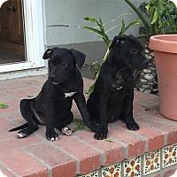 Adopt A Pet :: Scarlett - Santa Barbara, CA