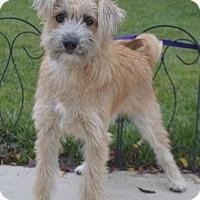 Adopt A Pet :: Cupcake - Las Vegas, NV